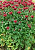 Monarda fistulosa 'Garden View Red' (bee balm)