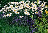 Chrysanthemum kaximum syn. Leucanthemum superbum