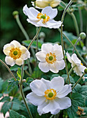 Anemone hupehensis 'Honorine Jobert'