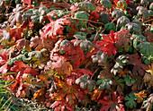 Geranium cantabrigiense (cranesbill) in autumn coloration