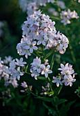 Campanula Lactiflora 'Loddon Anne'