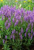 Salvia nemorosa 'Blue Hills'