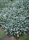 Stachys lanata 'Silver Carpet' lamb's ear