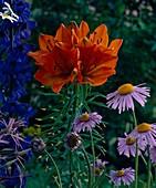 Lilium (orange lily), delphinium (larkspur)