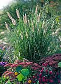 Pennisetum compressum (Chinese pennisetum), Sedum (sedum)