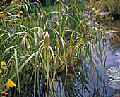 Carex pseudocyperus (cypergrass-like sedge)