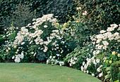 Chrysanthemum X Superbum 'Elizabeth', Hosta 'Thomas