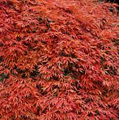 Acer palmatum dissectum atropurpureum (Ahorn)