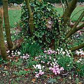 Cyclamen hederifolium (Herbst - Alpenveilchen) und Hedera (Efeu) bewachsen Baumscheibe von Salix (Weide)