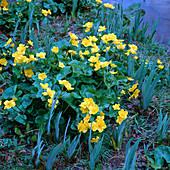 Caltha palustris (Sumpfdotterblume)