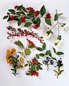 Ornamental shrubs with autumnal fruit decoration-Symphoricarpos racemosus