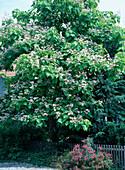 Catalpa bignonioides (trumpet tree)