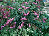 Buddleja davidii (butterfly shrub)