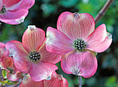 Cornus florida 'Cherokeechief' (American flower dogwood)