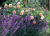 Pink 'Charles Austin' (English rose), often flowering