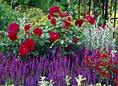 Rosa 'L.D.Braithwaite' (English perfume), Salvia nemorosa