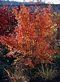 Prunus incisa 'Kojo-No-May'