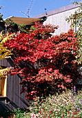 Acer palmatum 'Atropurpureum' (Red fan maple)