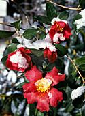 Camellia sasanqua 'Yuletide' camellia