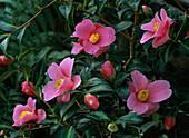 Camellia X hybrida 'Golden Spangle'