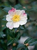 Camellia sasanqua 'Hinode Gumo'
