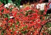 Cotoneaster dielsianus