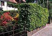 Carpinus betulus (Hainbuchen - Hecke)