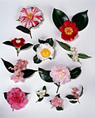Camellia japonica Ezo Nishiki, Tinsie, Ima Kumagai, Fuji