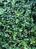 Euonymus fortunei radicans