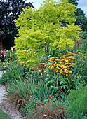 Robinia 'Friesia'