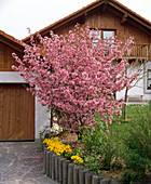 Blossoming Malus (ornamental apple tree) in edge of bed next to garage