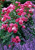 Rose 'Angela' (shrub rose), often flowering, Nepeta (catmint)