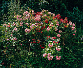 Clove-flowered shrub rose