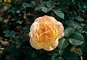 Shrub rose 'China Town', peach scent