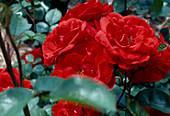 Rose 'allotria' polyantharose from Tantau, often flowering, light scent