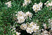 Rosa 'Tapis Volant' shrub rose, groundcover rose, often flowering, fruity scent