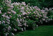 Rose 'Adenochaeta' Bot. Rose, Multiflora, Apple Rose Fragrance, once flowering
