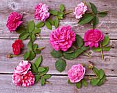 Rosa Mundi, pink confectionery