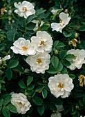 Rose alba 'Semiplena'