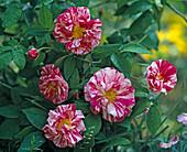 Rosa Mundi ', syn. 'Rosa gallica versicolor'