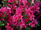 Rhododendron molle 'Toreador'