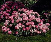 Rhododendron 'Bad Zwischenahn'