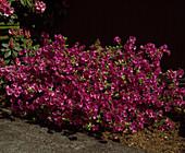 Azalea 'Purple Splendor'