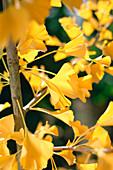 Ginkgo biloba (autumn coloration)