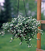 Bacopa as a hanging basket