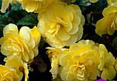 Begonia tuberhybrida 'Nonstop Yellow'