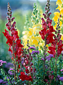 Antirrhinum majus 'scarlet fever', yellow