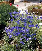 Delphinium grandiflorum 'Blue Dwarf'