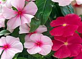 Catharanthus roseus (Vinca) 'Titan Rose' und 'Pacifica Blush'