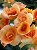 Begonia elatior hybrids